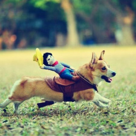 funny costume of rodeo rider to strap on dog
